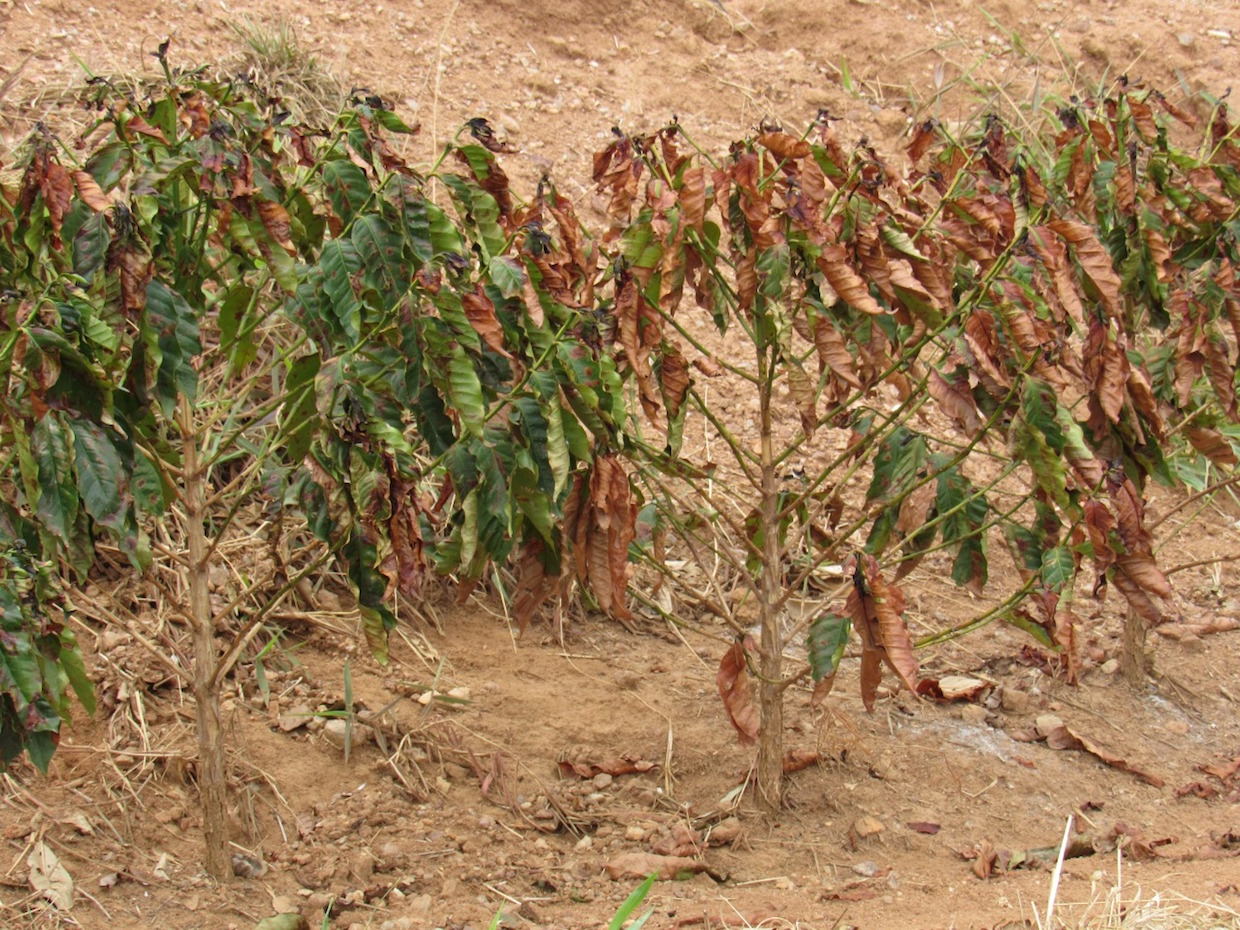The drought affecting young coffee trees, and lost its 2021 production potential 3, credit-Guy Carvalho