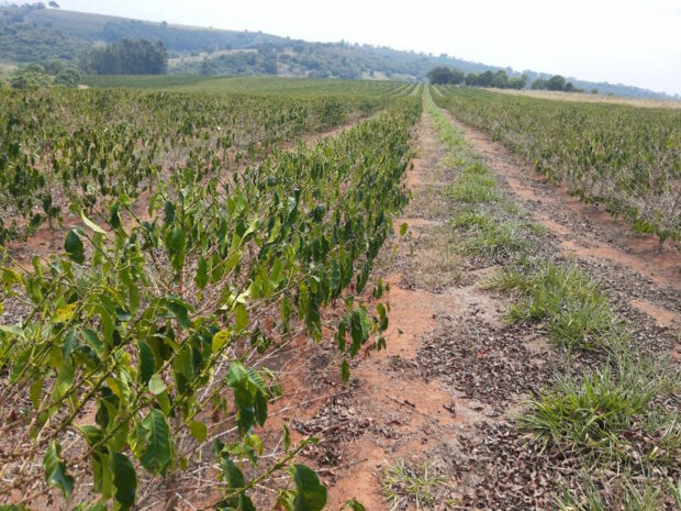 The drought affecting young coffee trees, and lost its 2021 production potential, credit-Guy Carvalho