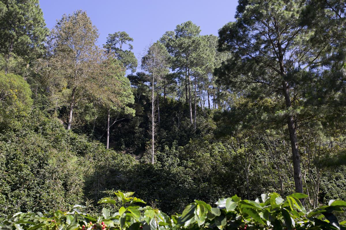 Pacheco family coffee farm Guatemala