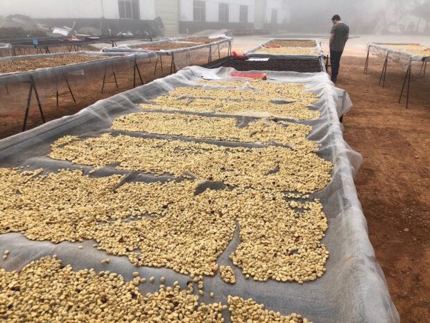 Yunnan coffee drying
