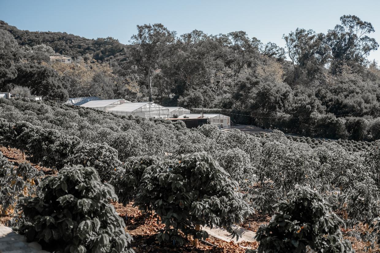 California coffee farm