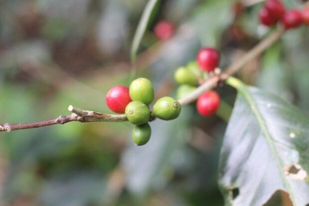 coffee-cherries-ripe-and-unripe