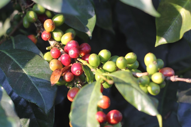 coffee keurig root capital