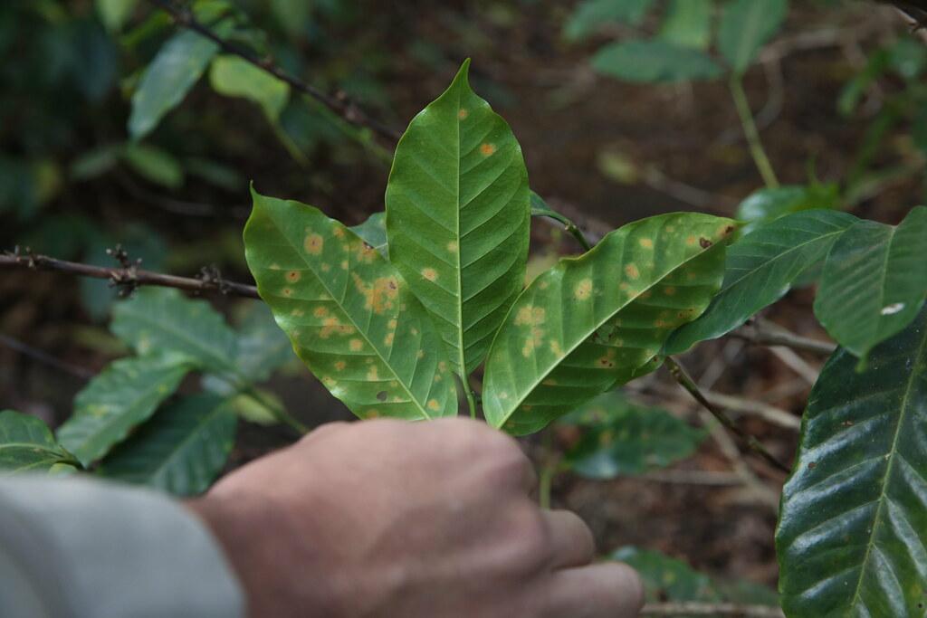 coffee-leaf-rust