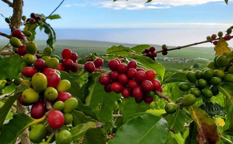 Black Rock Coffee Farm
