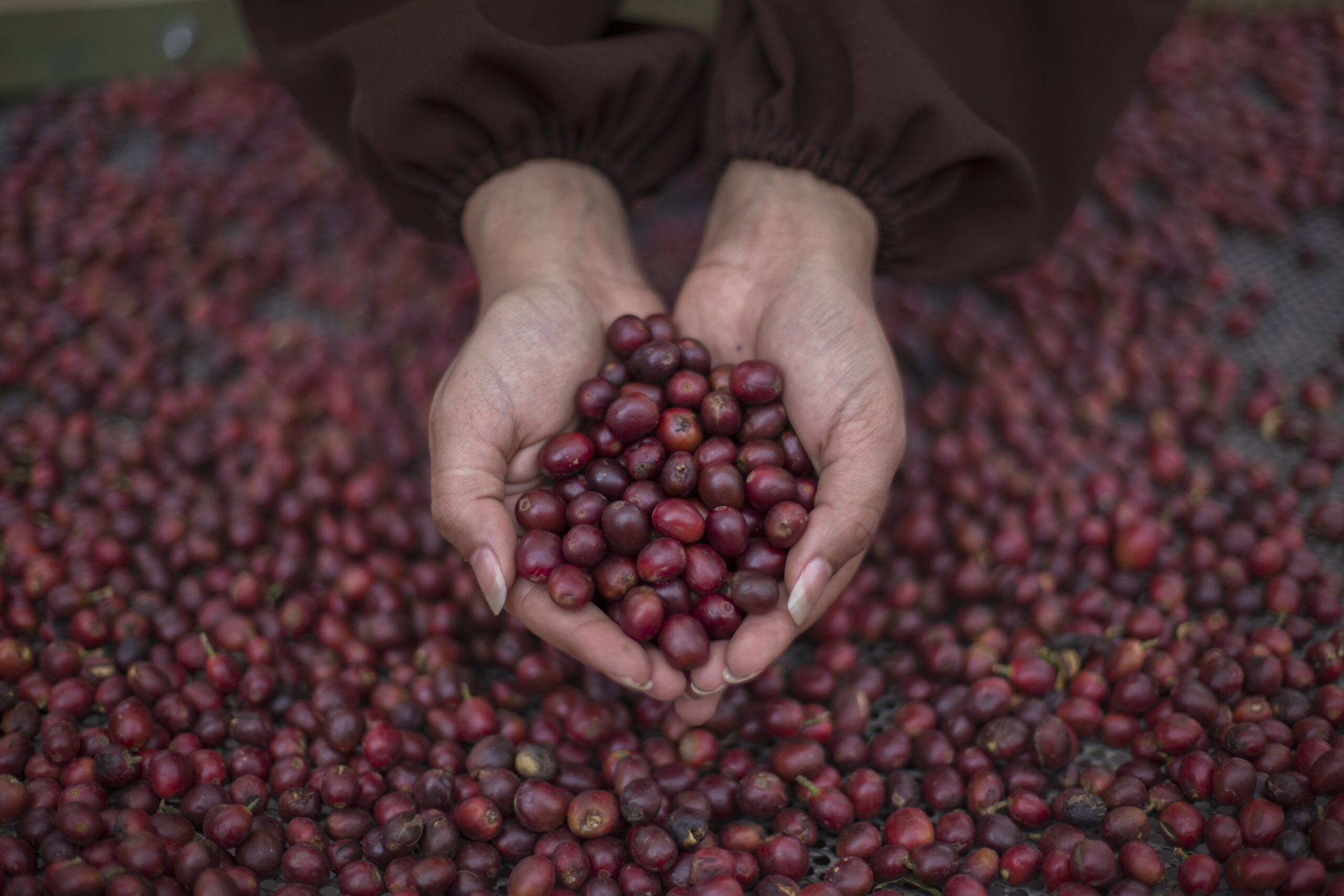 Yemen coffee cherries