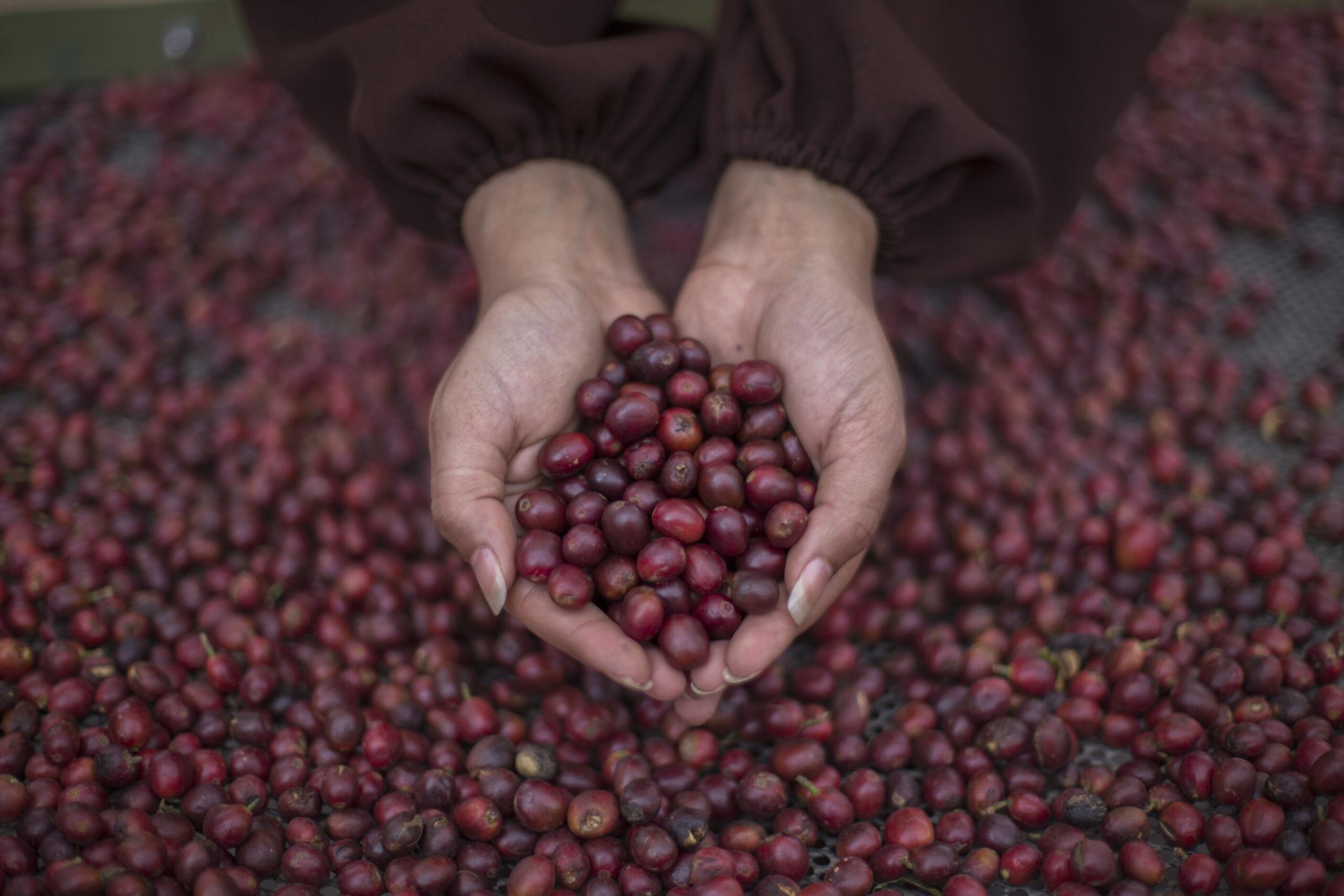 Yemen coffee cherries