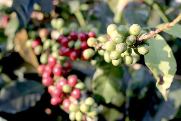 ethiopia coffee farm labor