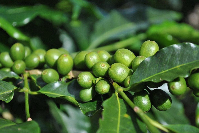 green coffee tree