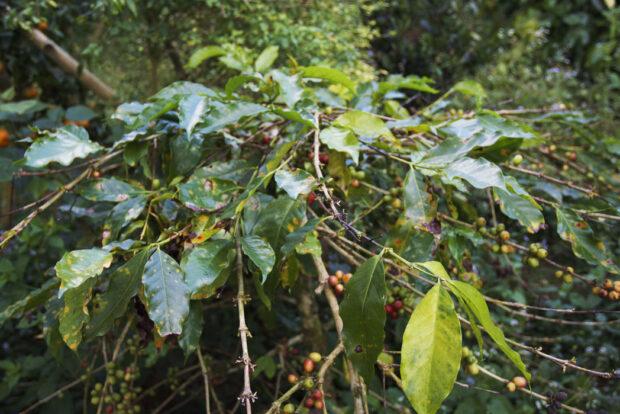 Coffee-leaf-rust-defoliation