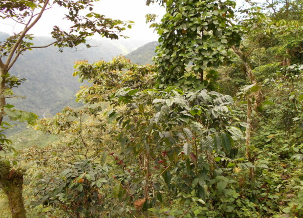 Guatamala coffee auction