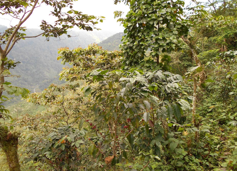 Guatamala coffee auction