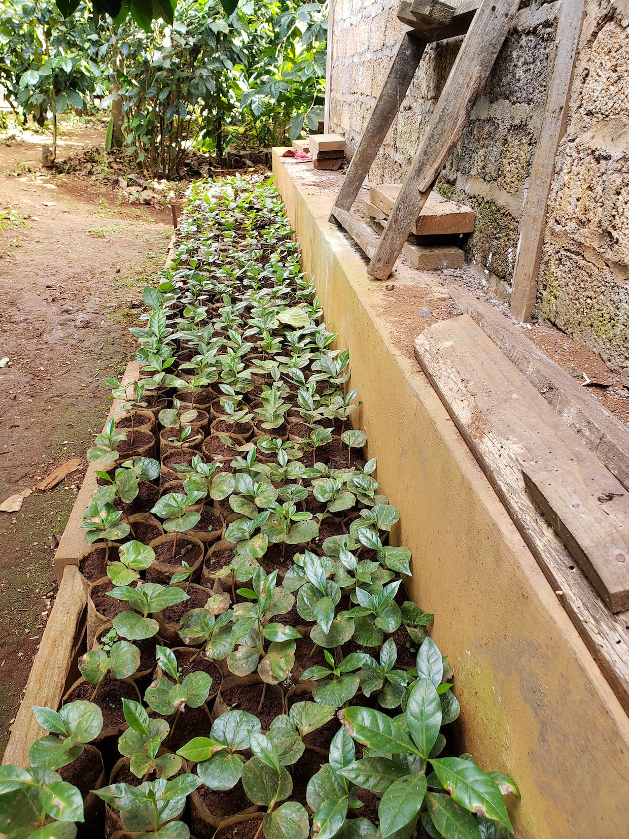 coffee seedlings Myanmar