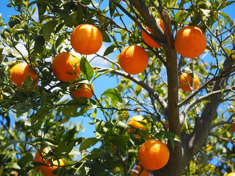 ripe oranges