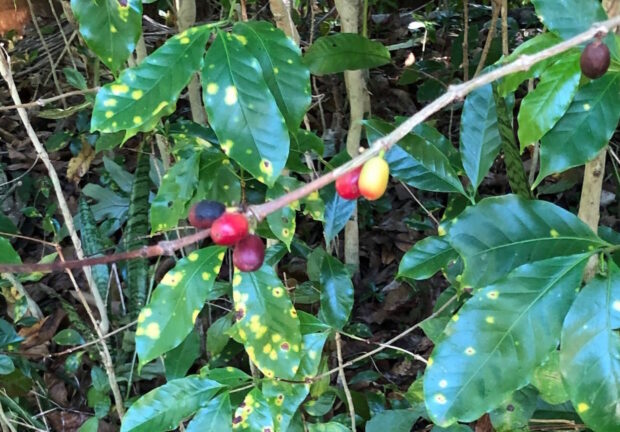 Coffee-leaf-rust-infected-plant-rotated-1