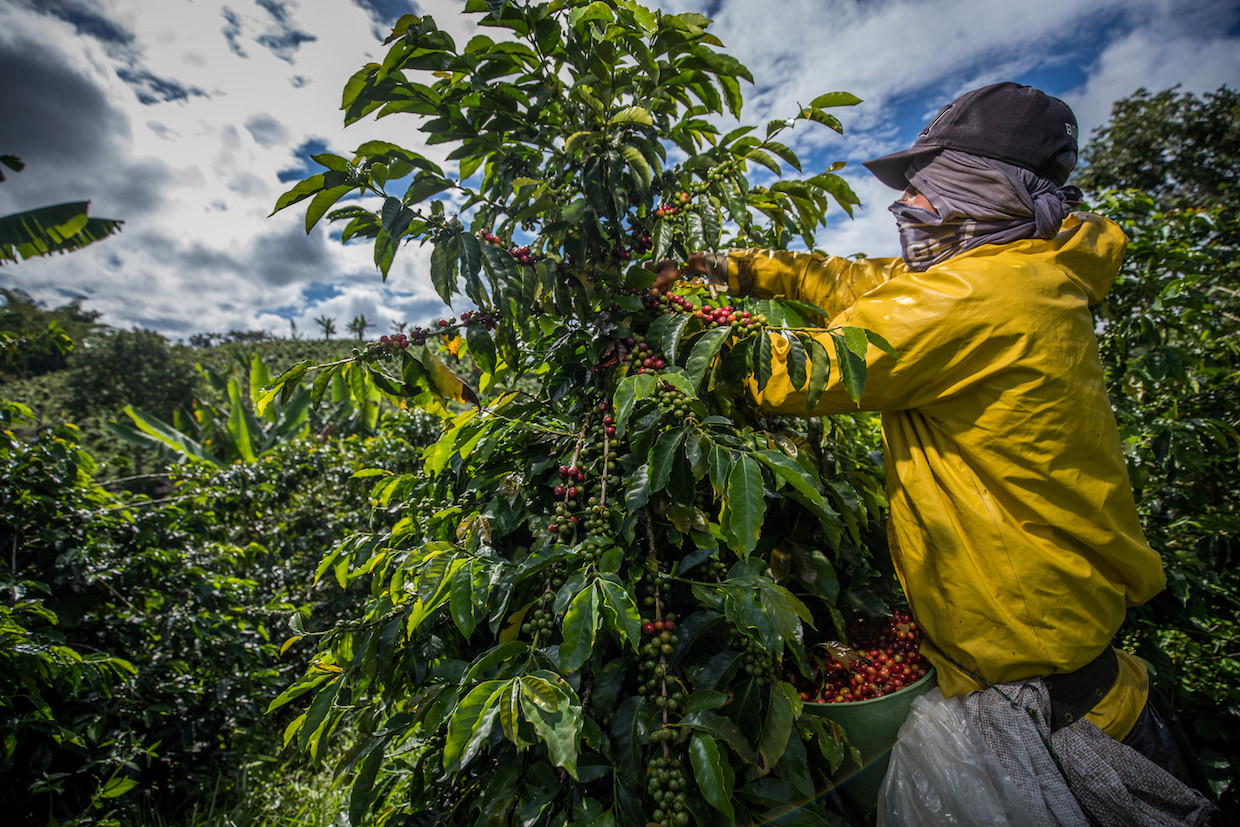 Coffee picking in Colombia