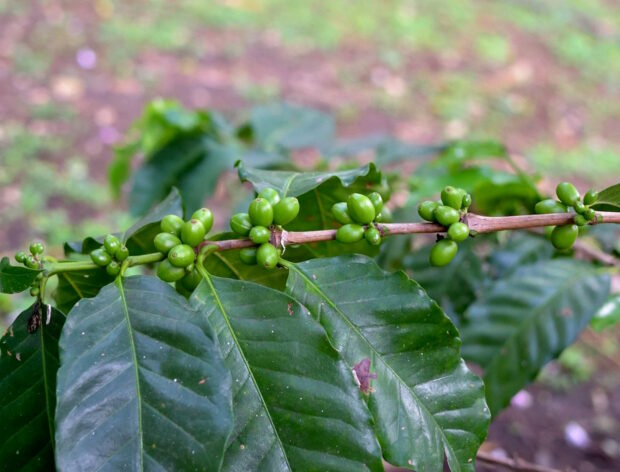Mercon Coffee sustainability