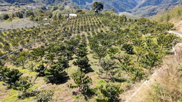 01 Taiwan coffee farm in cloudy mountain area