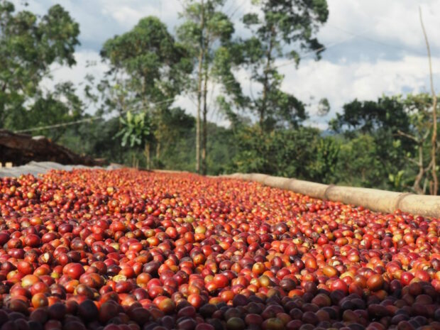 Ethiopias Forest Coffee