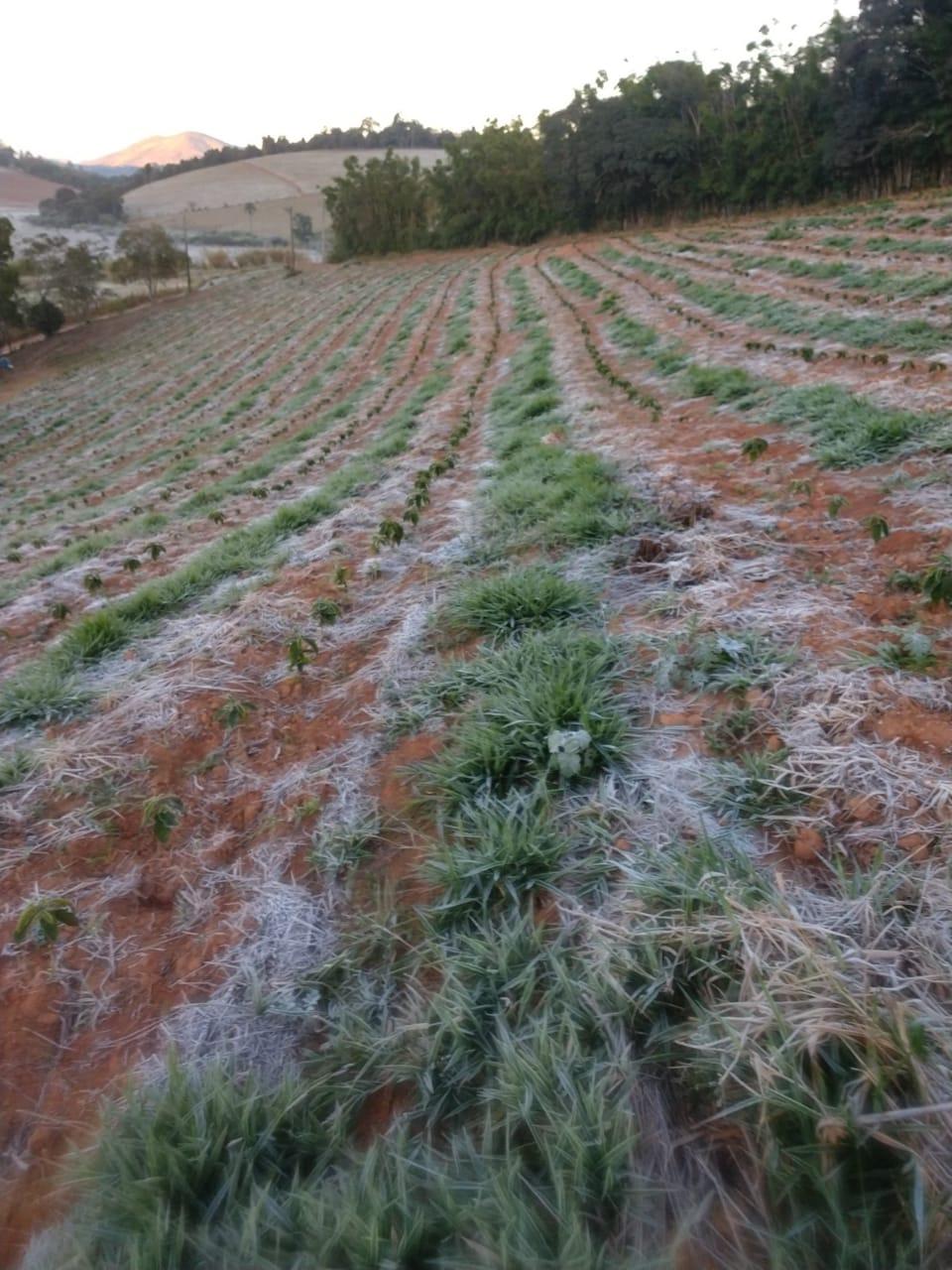 brazil coffee frost 2