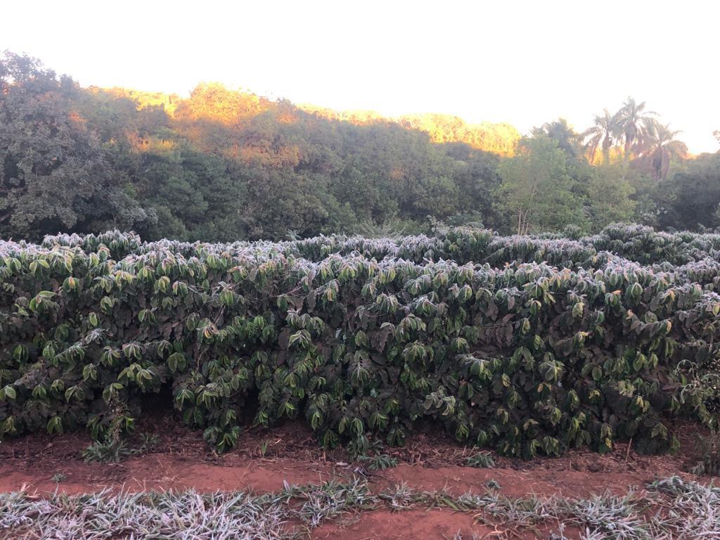 brazil coffee frost 4