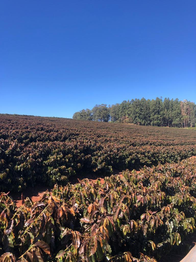 brazil coffee frost 5