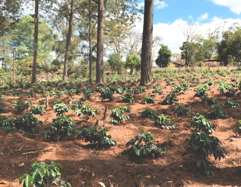 Afficionado Coffee Roasters farm