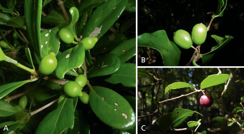 six new coffee species 1